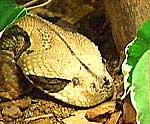 Gabon Viper