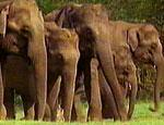 Tiss fra disse indiske elefantene hadde vært ekstra bra.