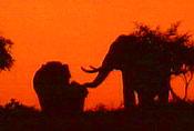 Elefanter på mais-slang