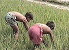 Barna hjelper til på rismarken