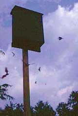 Foto: Bat Conservation International