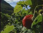 Jordbæra er klar til plukking. I år blir bæra saftig og søt. Sesongen varer lenge.