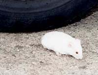 Hamsteren Roly etter at han vart redda frå motorvegen. Foto: BBC