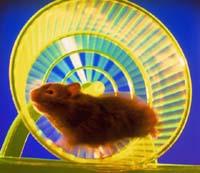 Hamsteren Roly var fanga inne i eit liknande treningshjul som dette. Han vart heldigvis redda i tide.