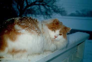 Katten Gullars kosar seg på verandarekkverket. Foto: Bjørn Ravnås