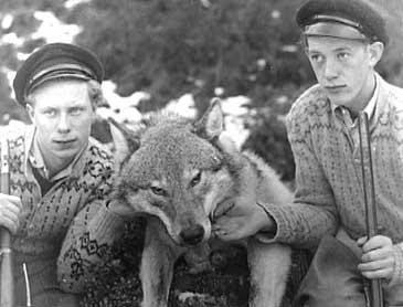 Dagfinn Berg (t.v.) og Henrik Berg med storfangsten i 1950. Fotograf Reiakvam vart kalla inn for å ta dette biletet, og sakkunnige i Bergen kunne dermed stadfeste at det var ein ulv karane hadde skote..