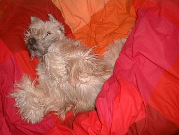 Ruffen er en 3 år gammel Irish Softcoated Wheaten Terrier, en rase som ikke røyter, men som altså bør holde seg i sin egen seng likevel!