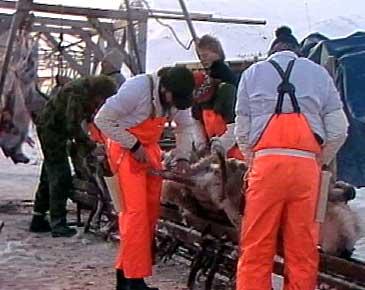 Slakting av tamreinen til Jon Jonassen i 1988 - den siste som dreiv med tamrein i Lærdal og Årdal. (Foto: Alf Jørgen Tyssing, NRK)
