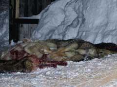 Tilsammen 23 hunder ble i går avlivet . (Foto: Erlend Aas / SCANPIX )