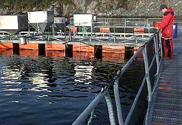 Alex Vassbotten fôrar laks i mærane på Steinvik fiskefarm. (Foto: Stein Magne Os, NRK)