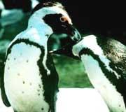 Svart-fota pingvin. Foto: New York Aquarium