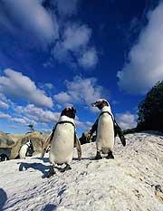 Svart-fota pingvin i Antarktis