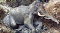 Elefant i gjørmehull. AP-foto.