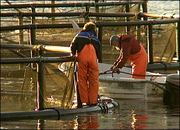 Mærar på Fjordfisk sitt anlegg i Åfjorden. (Foto: Heidi Lise Bakke, NRK)