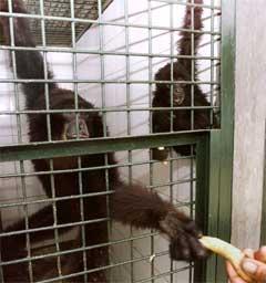 Gibbon-aper