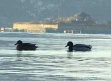 Båtracet skal gå i en sløyfe rundt Munkholmen. Naturvernerne frykter skade på dyre- og fuglelivet. (Foto: NRK)