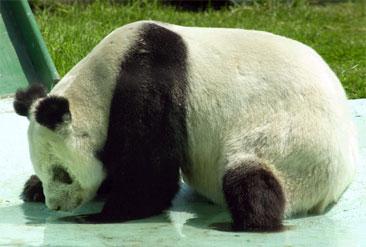 Avvist og nedslått: Nederlaget synker inn for Ling-Ling