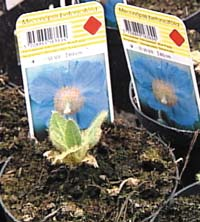 Valmuesøster er en blå blomstrende staude som liker sur jord.