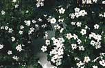 Hengeplanten Bacopa er en av de som skal pryde Trondheim under bryllupet.