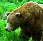 Her er ein norsk bjørn. Foto: NRK.