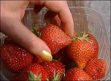 Jordbæra blir modne ti dagar seinare enn normalt. Arkivfoto NRK