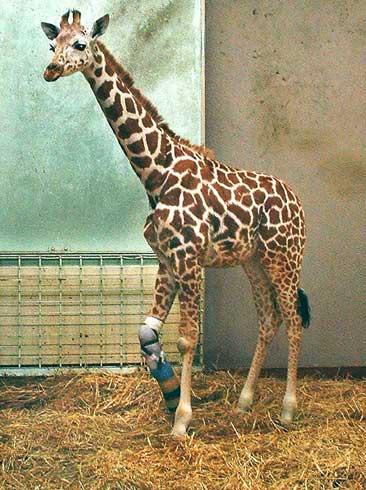 Taiyo fikk i mai trebein, og sjarmerte en hel verden. Tirsdag måtte hjertet gi tapt for presset, og dyrevenner sørger. Foto: REUTERS/Omoriyama Zoo