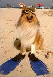 Pelsen til Lassie tar mye vann