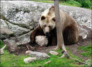 Bjørnen vakna etter ei stund, og fekk ferten av Anders. (Illustrasjon/foto: Arild Nybø, NRK)