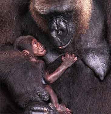 Den foreløpig navnløse gorillajenta titter opp på mamma Frederika.