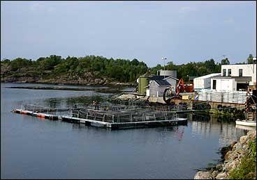 Bru fiskeindustri i Kvammen. (Foto: Arild Nybø, NRK)