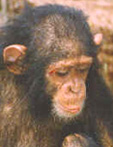 Sjimpansene lærte seg amerikansk tegn-språk. Foto: NRK-arkiv
