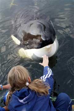 Keiko hilser på ei lita jente i Skplviksfjorden. Gorm Kallestad/Scanpix