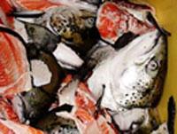 Fiskeslo kan i fremtiden ende på middagsbordet. Foto: Norges Forskningsråd.