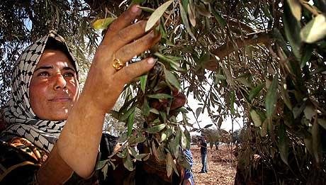 En palestinsk kvinne høster oliven i landsbyen Arqaba nær byen Nablus på Vestbredden 30. oktober 2002. (Foto: Reuters/Tsafrir Abayov)