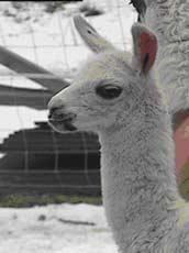 Lama-prosjektet i Engerdal gikk ikke helt som planlagt...(Ill.)