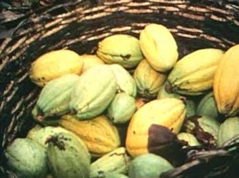 Moden kakaofrukt.