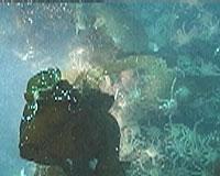 Horder av kongekrabbe kan ta knekken på lodda, frykter fiskerne.