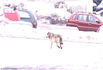 Det er ett år siden denne ulven vandret i Vestfold.