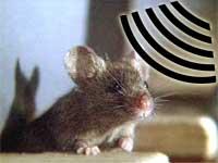 Lar mus seg skremme av høyfrekvente lyder? (Illustrasjon)