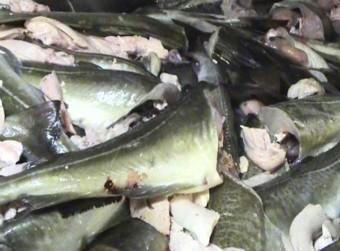 Denne delen av fisken skulle produseres ombord i den anmeldte tråleren.