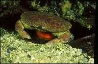 Når krabben har utrogn, står han i skjul i 7-8 månader utan å ta til seg mat. Foto : Astrid Woll