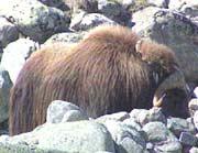 Moskusstammen på Dovre teller rundt 200 dyr. (Foto: NRK)