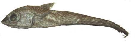 Nei, dette er ikke en rollefigur fra Ringenes Herre, men det siste store i fiskedisken. Foto: Møreforsking