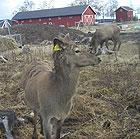 DN mener at hjorteoppdrettet i Nome er etisk forsvarlig.