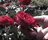 Roser uten duft er fine blomster for allergikere.