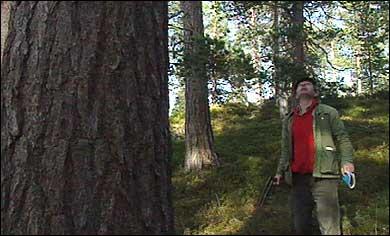 Furu på Kaupangerskogen. (Foto: Atle Løkken, NRK)