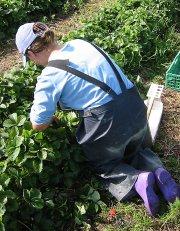 Polske sesongarbeidere redder jordbærsesongen.