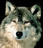 Ulven er tema i Grue i dag. (Foto: NRK)