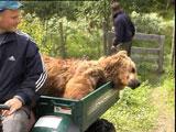 Det var denne bjørnen som ble skutt i Lierne.