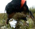 Det bør bli færre apport-jobber på fuglehundene i år.